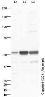 Western blot - Anti-5HT6 Receptor antibody (ab103016)
