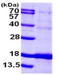 SDS-PAGE - ISCU protein (ab103306)