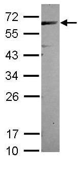 Western blot - CEP57 antibody (ab104010)