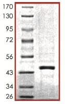SDS-PAGE - SIRT7 protein (Active) (ab104032)