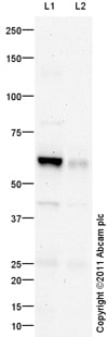 Western blot - Anti-Chromogranin C antibody (ab104367)