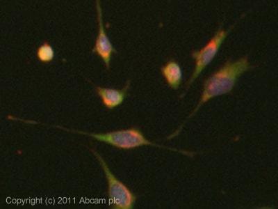 Immunocytochemistry/ Immunofluorescence - Anti-Trophoblast specific protein alpha antibody (ab104401)