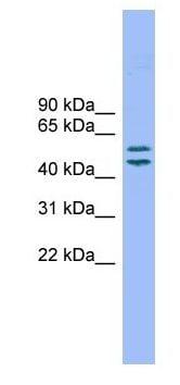 Western blot - TM7SF2 antibody (ab104720)