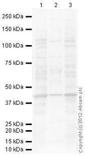 Western blot - Anti-PRMT6 antibody (ab104834)
