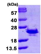 SDS-PAGE - SR1 protein (ab104927)