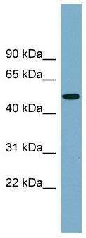 Western blot - PRSS16 antibody (ab104987)