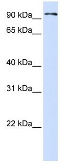 Western blot - Protocadherin beta 13 antibody (ab105010)