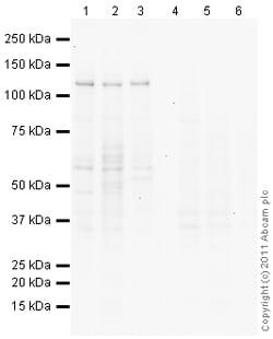Western blot - Anti-MGEA5 antibody (ab105217)