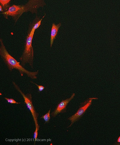 Immunocytochemistry/ Immunofluorescence - Anti-MGEA5 antibody (ab105217)