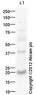Western blot - Anti-SAT1 antibody (ab105220)