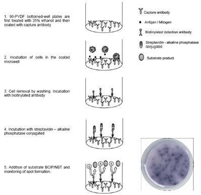 ELISPOT - IL17A + IL17F Human ELISpot Kit (ab105247)
