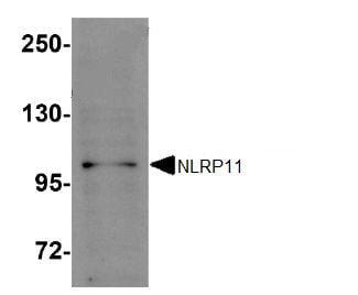 Western blot - NLRP11 antibody (ab105408)
