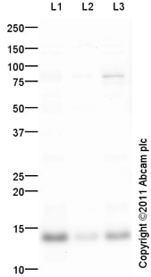 Western blot - Anti-CHRAC1 antibody (ab105452)