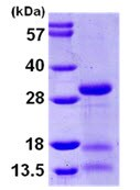 SDS-PAGE - IDI2 protein (ab105602)