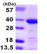 SDS-PAGE - Annexin A13 protein (ab105616)