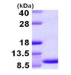 SDS-PAGE - Macrophage inflammatory protein 5 (ab105617)