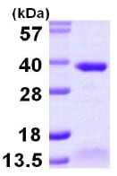 SDS-PAGE - ABH2 protein (ab105622)
