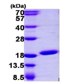 SDS-PAGE - Ube2N protein (ab105634)