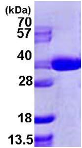 SDS-PAGE - SEC13L1 protein (ab105635)