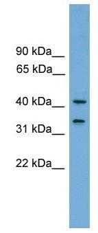 Western blot - FAM118A antibody (ab105692)