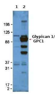 Western blot - Anti-Glypican 1/ GPC1 antibody (ab106003)