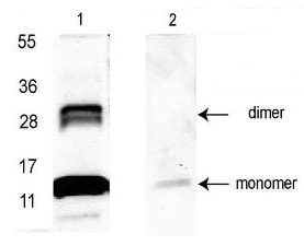 Western blot - Anti-GDF15 antibody (ab106006)