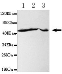 Western blot - Anti-Fas [4C3-G7-E8-H5] antibody (ab106062)