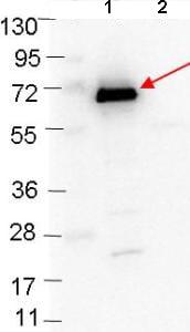 Western blot - Anti-ospC antibody (ab106083)