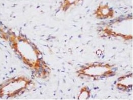 Immunohistochemistry (Formalin/PFA-fixed paraffin-embedded sections) - Anti-PP2A-alpha antibody (ab106262)