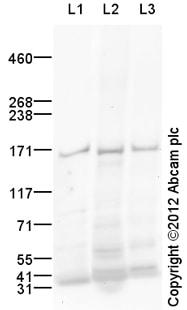Western blot - Anti-nNOS (neuronal) antibody (ab106417)