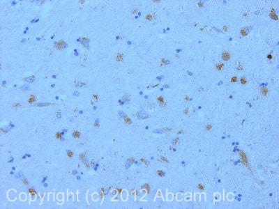 Immunohistochemistry (Formalin/PFA-fixed paraffin-embedded sections) - Anti-nNOS (neuronal) antibody (ab106417)