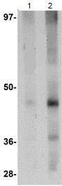 Western blot - Anti-LXR alpha antibody (ab106464)