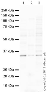 Western blot - Anti-CLDN16 antibody (ab106504)