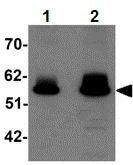 Western blot - ZBTB3 antibody (ab106536)