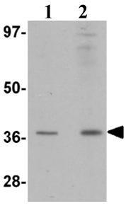 Western blot - RSPO1 antibody (ab106556)