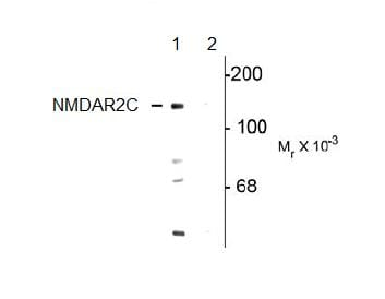 Western blot - NMDAR2C (phospho S1096) antibody (ab106569)