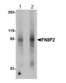 Western blot - FNIP2 antibody (ab106605)