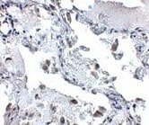 Immunohistochemistry (Formalin/PFA-fixed paraffin-embedded sections) - SH3BP4 antibody (ab106609)