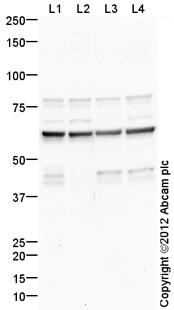 Western blot - Anti-Synaptotagmin VII antibody (ab106618)