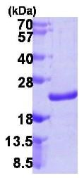 SDS-PAGE - NUDT10 protein (ab106890)