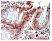 Immunohistochemistry (Formalin/PFA-fixed paraffin-embedded sections) - RELM beta antibody (ab106930)