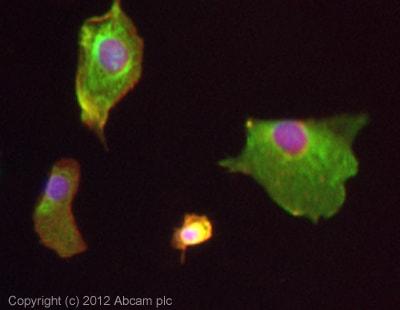 Immunocytochemistry/ Immunofluorescence - Anti-CDCP1 antibody (ab107165)