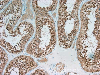 Immunohistochemistry (Formalin/PFA-fixed paraffin-embedded sections) - Anti-Spata18 antibody (ab107702)