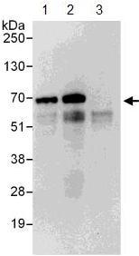 Immunoprecipitation - Anti-EIF2D antibody (ab108218)