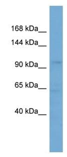 Western blot - SLCO5A1 antibody (ab108288)