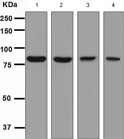 Western blot - CD98 antibody [EPR3548(2)] (ab108300)