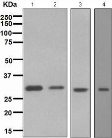 Western blot - Bcl10 antibody [EPR3175] (ab108328)