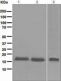 Western blot - Anti-CDKN2A/p16INK4a  antibody [EPR1473] (ab108349)