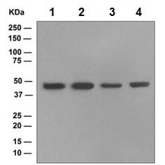 Western blot - EDG3 antibody [EPR4540(2)] (ab108370)