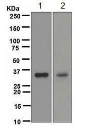 Western blot - DAZL antibody [EPR5140] (ab108372)